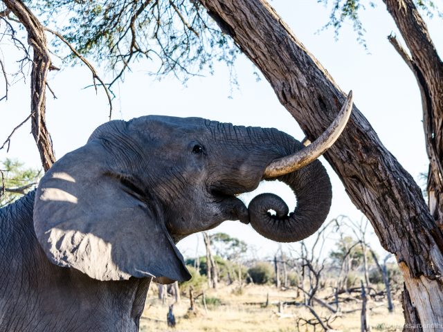 Botswana's fascinating wildlife: from Chobe to Savuti to Khwai
