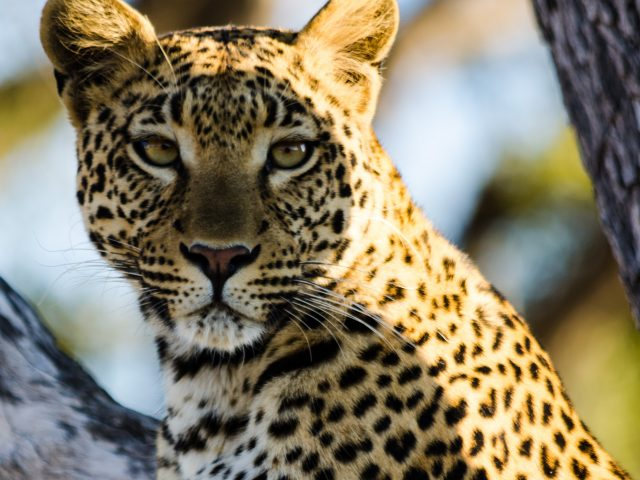 In the heart of the Okavango Delta – a dream lodge and many cats