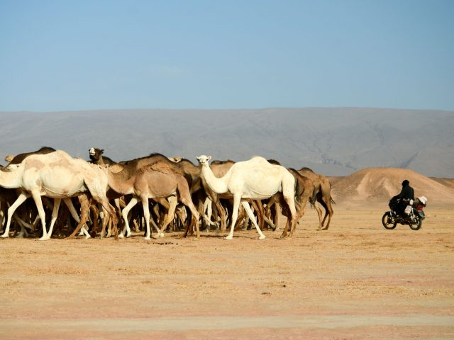 Marokko II: Von Mofas und Dromedaren