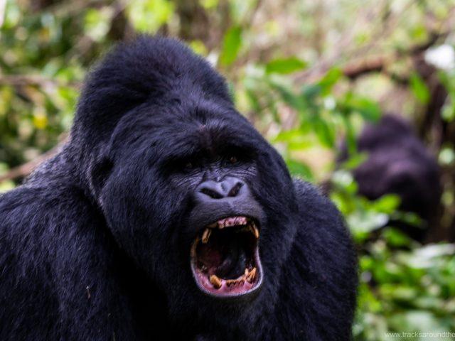 Auf den Spuren von Dian Fossey: Unser Besuch bei den Berggorillas